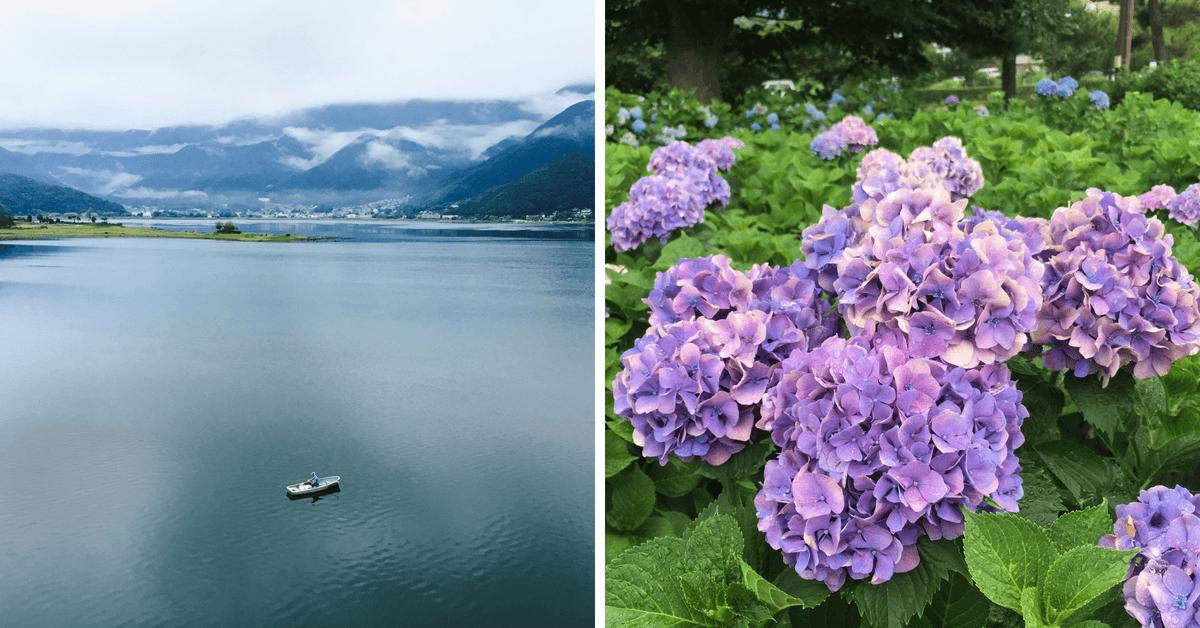河口湖湖景繡球花